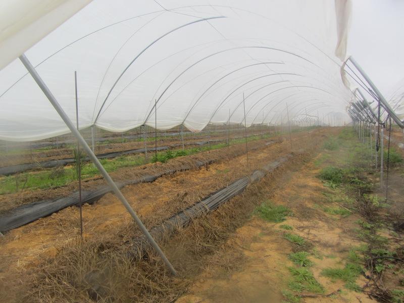 Cultivo de espárragos bajo tunel